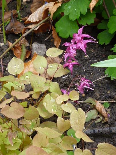 Epimedium 'Red Beauty' (Epimedium grandiflorum 'Red Beauty')