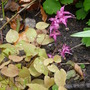 Epimedium 'Red Beauty' (Epimedium grandiflorum 'Red Beauty')
