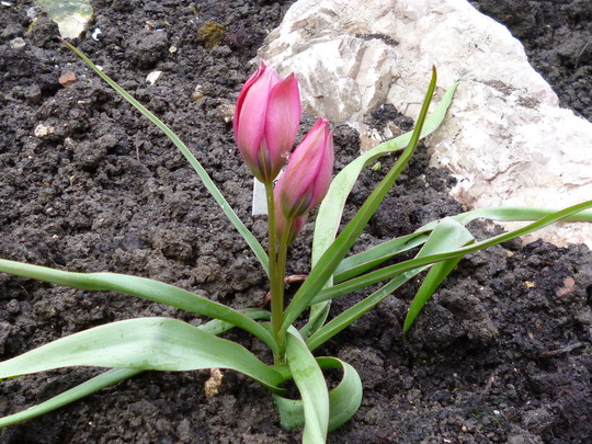 Another siamese twin! (Tulip 'Little Beauty')