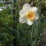 Narcissus_sempre_avanti