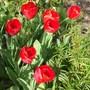 Tulipa Red emperor (Tulip 'Red Emperor')