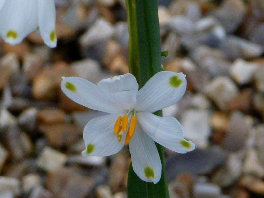 Leucojum      For   Brian  ( Bjs )