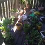 Getting my deck plants in order