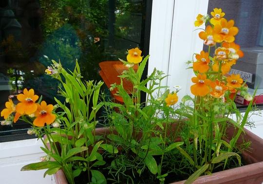 Nemesias on the window sill. (Nemesia strumosa (Nemesia))