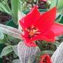 Tulip (greigii) 'Red Riding Hood'
