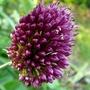 Purple Allium (Allium ostrowskianum)