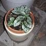 White polka dot plant.