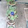 3 geraniums and one impatien.
