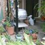 April_14_2012_caladiums_y_lantanas_025