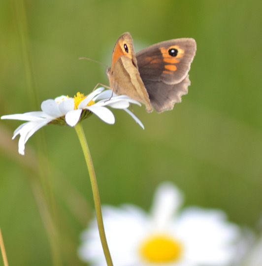 Meadow Brown Butterfly on Daisy