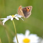 Meadow Brown Butterfly on Daisy