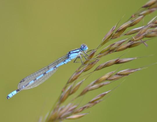 Damsol fly