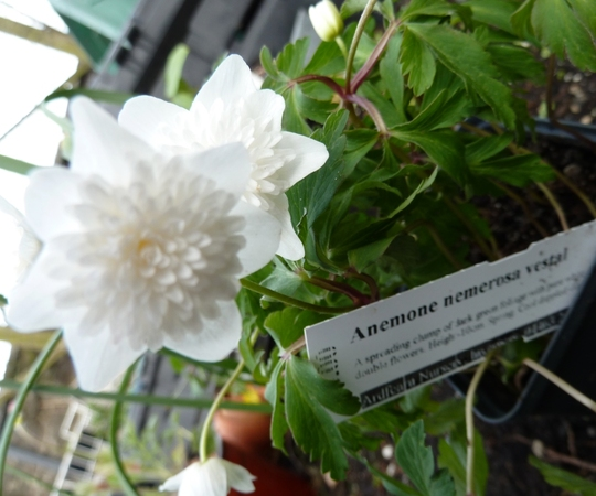 Anemone nemorosa Vestal (Anemone Nemorosa Vestal)