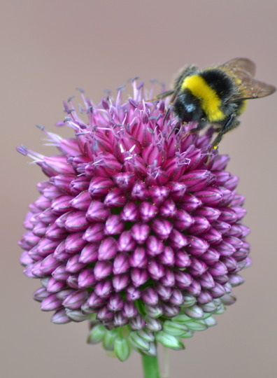 Allium and Bumble bee
