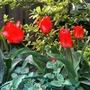 Tulip gregii Red Riding Hood (Tulipa greigii 'Red Riding Hood')