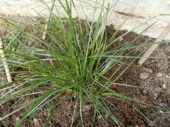 stipa.. (Stipa gigantea (Giant feather grass))