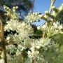 Filipendula ulmaria (Filipendula ulmaria (Meadowsweet))