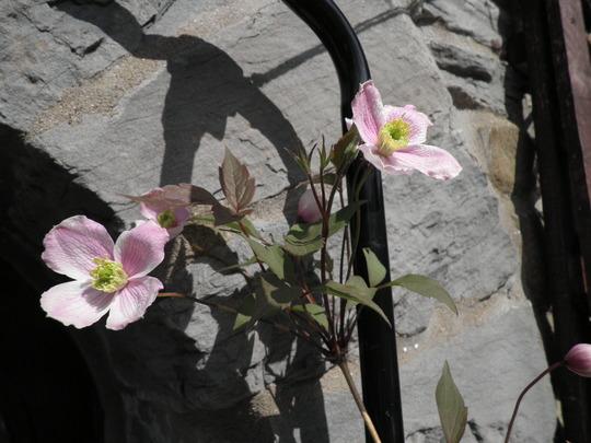 Montana Lizzy flowers