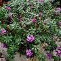 My_garden_in_spring_today_11_025
