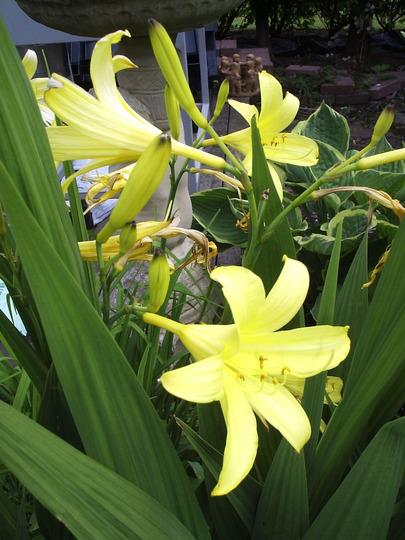 """Hemerocallis (""""Day Lily""""), var. unknown."""