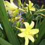 "Hemerocallis (""Day Lily""), var. unknown."