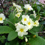 The Herald of Spring - the primrose