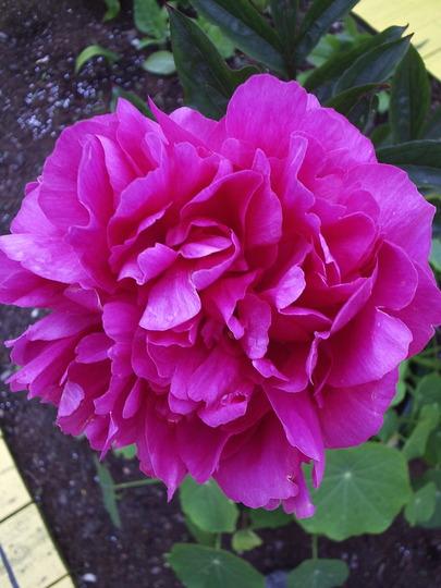 """Paeony Rose """"Kansas"""""""