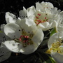 Conference Pear blossom...........