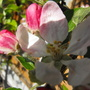 Falstaff Apple blossom