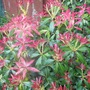 Close up of my Pieris
