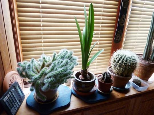 Cactus Collection No 1  (Cactus.)