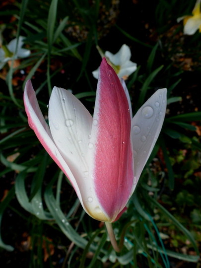 Tulip   ' Lady Jane '