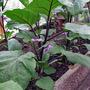Aubergine plants in flower