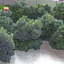 Calabrese_harvest