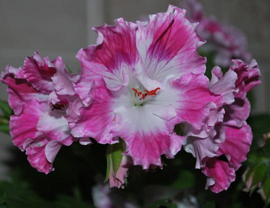 Pelargonium Delli. (Pelargonium Delli.)