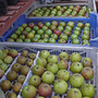 Fruit_harvest_apple