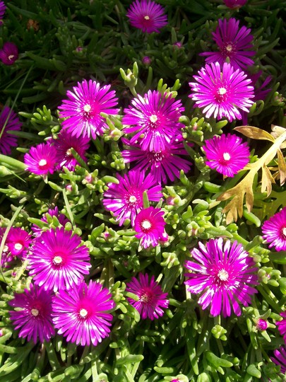 A garden flower photo (Delosperma cooperi)