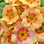 Tangerine Primrose