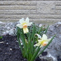 Narcisus &#x27;Bellsong&#x27; (Narcissus &#x27;Bellsong&#x27;)