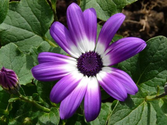 Senetti Violet Bicolour (Cineraria)