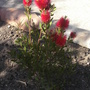 Bottle Brush (Callistemon citrinus)