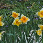 Narcissus Orangery & Sorbet