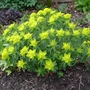 Euphorbia_polychroma_2012