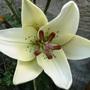 Lilie (Lilium L.A. Eyeliner)