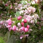 Malus floribunda (close-up) - 2012 (Malus floribunda)