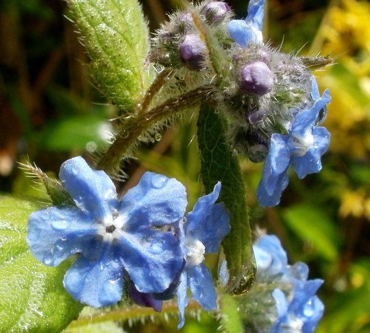 forget-me-not ... (Myosotis scorpioides (Water forget-me-not))