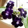 purple streptocarpus Kim