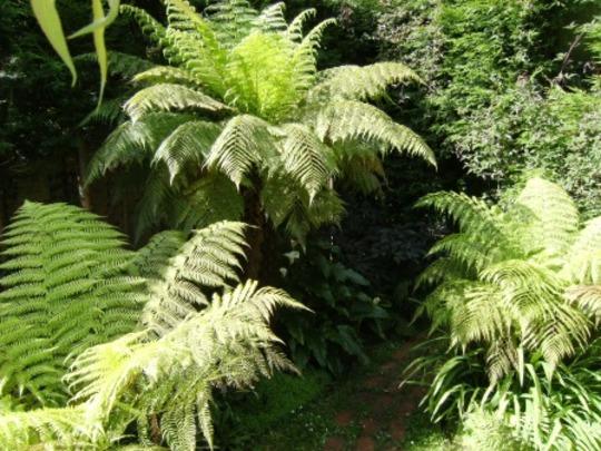 Tree ferns in June. (Dicksonia antarctica (Soft tree fern))