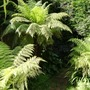 Tree ferns in June. (Dicksonia antarctica (Soft tree fern))