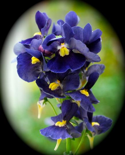 Nemesia Nesia Dark Blue.